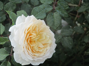 Крокус Роуз (Crocus Rose)